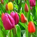Bulbes à Fleurs d'Été