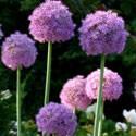 Bulbes à Fleurs d'Automne